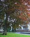 Бук червоний, м Хмельницький 68-101-5007 DSCN0909.jpg