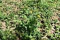 Дубовий гай Чистотіл DSC 0434.jpg