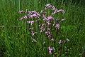 Коронарія зозуляча (Lychnis flos-cuculi) на території ботанічного заказника «Стрижавські орхідеї» P1220620.jpg