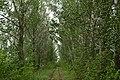 Ряды тополей в Мичуринском саду - panoramio.jpg