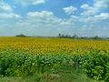 Соняшникове поле.jpg