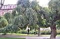 Софора японская плакучая в Одессе. Фото 6.jpg