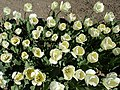 Тюльпани в ботанічному саду ТНУ імені В. І. Вернадського.jpg