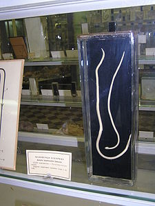 Цикл развития червя аскарида