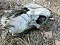 Череп лошади, найденный в лесу 1.jpg