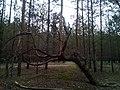 """Чудернацькі дерева у """"Поліському природному заповіднику"""" 01.jpg"""
