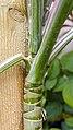 برگ و ساقه گیاه عنکبوتی 07-Chlorophytum comosum,.jpg