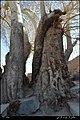 درختان کهن چشمه علی - panoramio.jpg