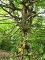 درخت جنگلی عجیب - panoramio.jpg