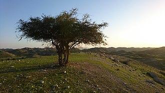 Ziziphus spina-christi - Wild Ziziphus spina-christi tree in Iran