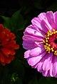 عکس از گل آهاری-بوستان علوی قم.jpg