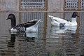 غاز -Geese 11.jpg