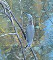 மடையான் pond-heron.JPG