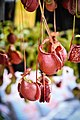 หม้อข้าวหม้อแกงลิง tropical pitcher plants Genus Nepenthes Photographed by Trisorn Triboon 12.jpg
