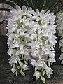 垂花蕙蘭 Cymbidium Sarah Jean Ice Cascade -香港沙田國蘭展 Shatin Orchid Show, Hong Kong- (9229858770).jpg