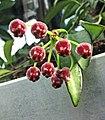 威特毬蘭 Hoya wayetii -波蘭 Krakow Jagiellonian University Botanic Garden, Poland- (36375335270).jpg
