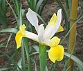 東方鳶尾 Iris orientalis -香港花展 Hong Kong Flower Show- (9252406629).jpg