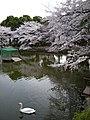 池とスワン - panoramio.jpg