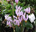 流星花屬 Dodecatheon dentatum -比利時 Ghent University Botanical Garden, Belgium- (9200878634).jpg