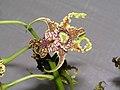 華麗石斛(大鬼石斛) Dendrobium spectabile -香港花展 Hong Kong Flower Show- (9255245534).jpg