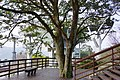 雙榦樹 double trunk tree - panoramio.jpg