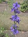 飛燕草 Delphinium ajacis (Consolida ambigua) -牛津大學植物園 Oxford Botanic Garden- (17383394713).jpg