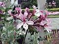 馬蹄紋天竺葵 Pelargonium zonale -伯明翰植物園 Birmingham Botanical Gardens- (9193443434).jpg