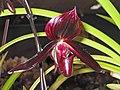 魔帝兜蘭 Paphiopedilum Maudiae -香港沙田洋蘭展 Shatin Orchid Show, Hong Kong- (9204858771).jpg