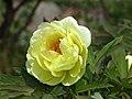 黃牡丹雜交-海黃 Paeonia × lemoinei High Noon -武漢東湖牡丹園 Wuhan, China- (12477933173).jpg
