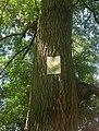 00 Яблунів, охоронний знак липи на іншому дереві.jpg