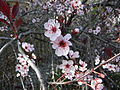 10Cherry blossoms.JPG
