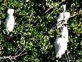 11 Egrets Beaufort SC 6393 (12367512133).jpg