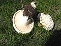 2007-05-18 Pleurotus eryngii (DC.) Gillet 461699.jpg