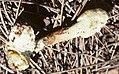 2010-01-31 Ophiocordyceps melolonthae (Tul. & C. Tul.) G.H. Sung, J.M. Sung, Hywel-Jones & Spatafora 76561.jpg