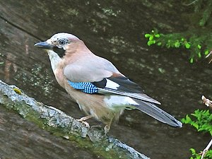 Reciprocal altruism - Eurasian jay, Garrulus glandarius, gives loud alarm calls from its tree perch when it sees a predator.