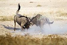 2012-wildebeest-fight.jpg