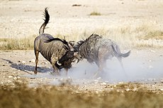 2012-wildebeest-fight.jpg