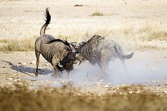Blue wildebeest - Blue wildebeest fighting for dominance