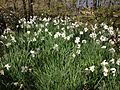2013-05-05 13 57 16 Unknown species of escaped Narcissus along the Long Path in Palisades Interstate Park.jpg