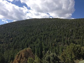 Great Basin National Park - Conifers thrive at middle elevations of Wheeler Peak.