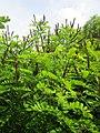 20130702Amorpha fruticosa1.jpg