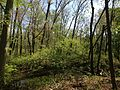2014-05-11 09 32 08 View across a stream from the Doctors Creek Trail in Clayton Park, Upper Freehold Township, New Jersey.JPG