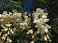 2014-05-17 10 00 41 Black Locust blossoms along Federal City Road at Interstate 95 in Lawrence Township, New Jersey.JPG