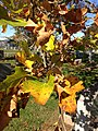 2014-11-02 12 02 04 American Sycamore foliage during autumn at the Ewing Presbyterian Church Cemetery in Ewing, New Jersey.JPG