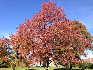 <i>Liquidambar styraciflua</i> Tree species