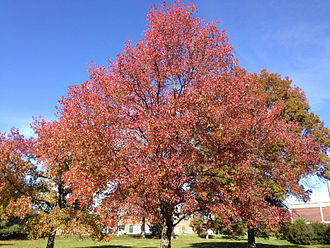 Liquidambar styraciflua - Image: 2014 11 02 13 06 29 Sweet Gum during autumn along Lower Ferry Road in Ewing, New Jersey