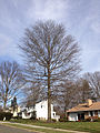 2014-12-30 13 14 58 Pin Oak on Crown Road in Ewing, New Jersey.JPG