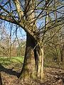 20140320Carpinus betulus06.jpg