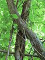 20140606Vitis vinifera subsp. sylvestris03.jpg
