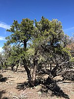 2015-04-28 14 02 46 An older Mountain Mahogany on the south wall of Maverick Canyon, Nevada.jpg